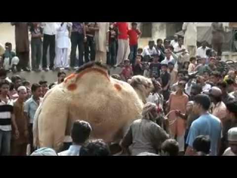 camel qurbani by shaikh brozzzzzzz