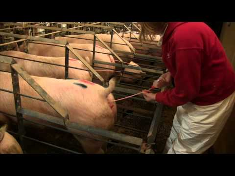 Post Cervical Artificial Insemination in Sows AS 623 WV