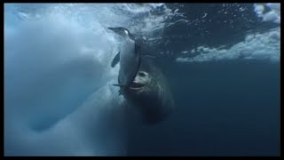 Leopard Seals Play With A Penguin