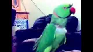 Mian Mithu - A Talking Parrot