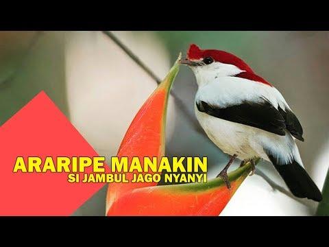 Xxx Mp4 Burung Araripe Manakin Si Tudung Merah Tersisa Sekitar 800 Ekor Di Alam 3gp Sex