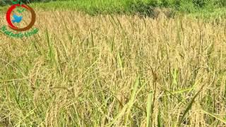 Natural Farming   Desi Paddy Varities   Urinikyma