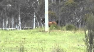 Australia Brumbies