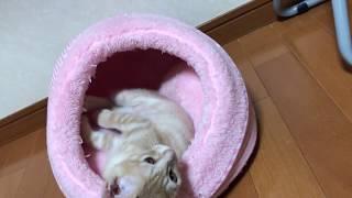 危機感なしで寛ぐ子猫がかわいい  Kittens have no sense of crisis