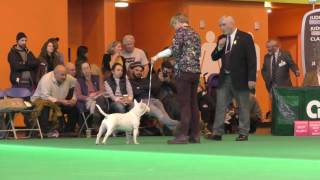 Crufts Dog show 2017 Miniature Bull Terriers Postgraduate Dog