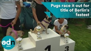 Pugs race it out for title of Berlin
