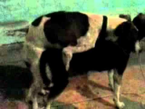 Cachorro Tracou a Cadela