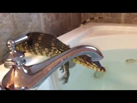 Xxx Mp4 Bath Time For Friendly Water Monitor 3gp Sex