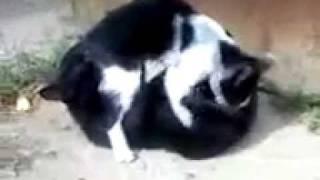 Коты в позе 69.mp4