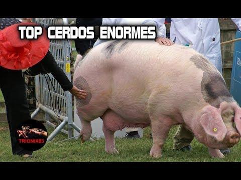 CERDOS GIGANTES El cerdo mas grande del mundo – Animales salvajes