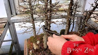 My Larch Bonsai Forest, Part 2, The Bonsai Zone, April 2018