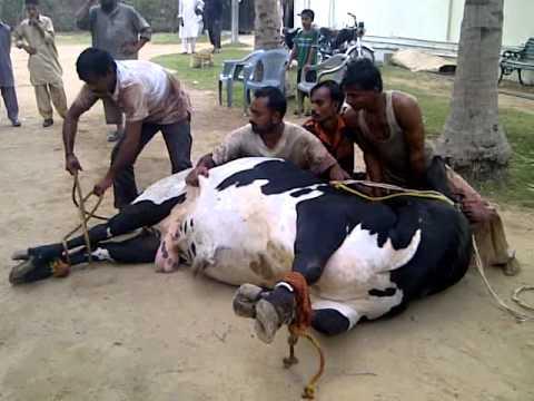 Cow qurbani 2011