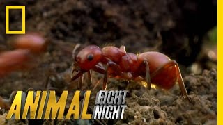 Long Live the Queen | Animal Fight Night