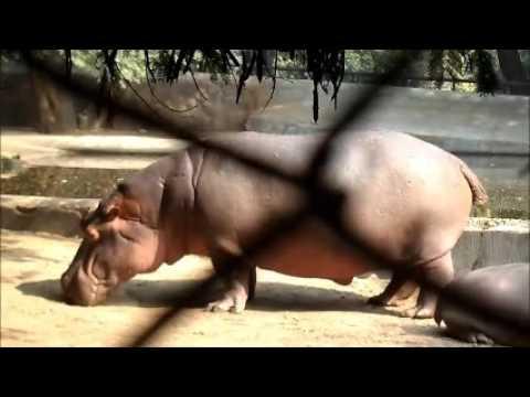 Xxx Mp4 Cute Hippopotamus Video Baby Hippopotamus 3gp Sex