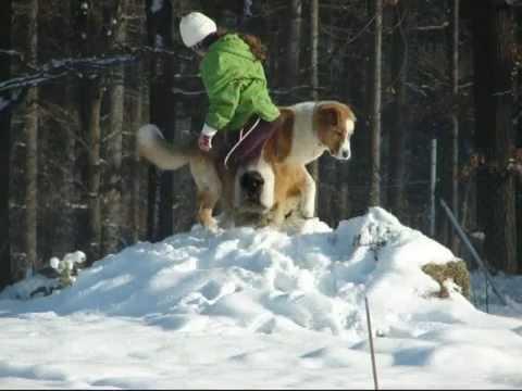 Ramzes central asian shepherd dog