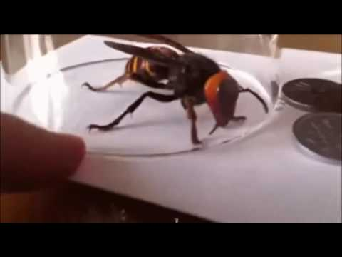 Big-ass NOPE! (Japanese Hornet)