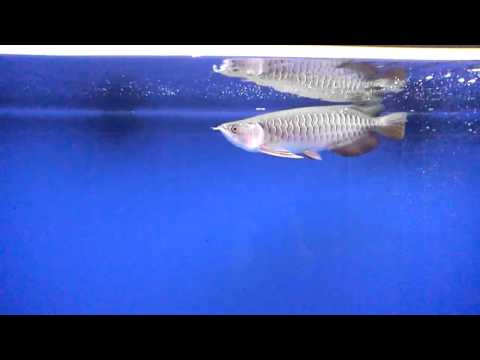 My hb red tail golden arowana's eating a frog