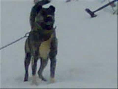 mazı köyü karabaş köpek