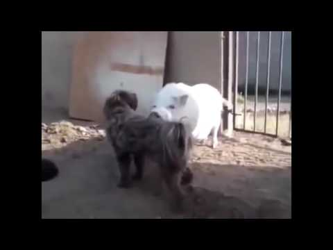 Xxx Mp4 Not Believe My Eyes Animal Die After Mating Dog Chihuahua Pig Rooster Mating Fail New 3gp Sex
