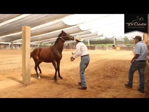 Xxx Mp4 ESPECIAL Cabezal Sierra Horse Halter Www Delcaballista Com HD 3gp Sex