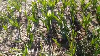 GLADIOLUS (Gladiolus Spp) Cultivation India - Cormel & Bulbs