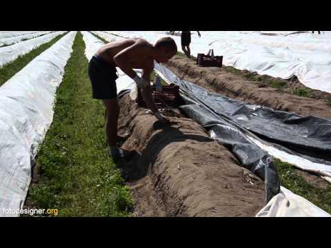 Spargel Vom Anbau bis zum Verzehr