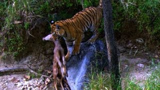 Tiger Cub's first Kill | David Attenborough | Tiger | Spy in the Jungle | BBC