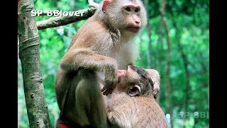Very Old Baby Monkey Pig Tail Still Give Baby Nurse