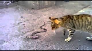 مشاجرة بين قط وثعبان