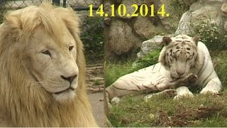 Srbija Beograd ZOO VRT Kalemegdan beli lavovi beli tigrovi