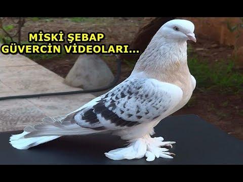 KUSURSUZ ŞEBAP MİSKİ KÜRENK GÜVERCİNLER - Şebap Güvercin Videoları