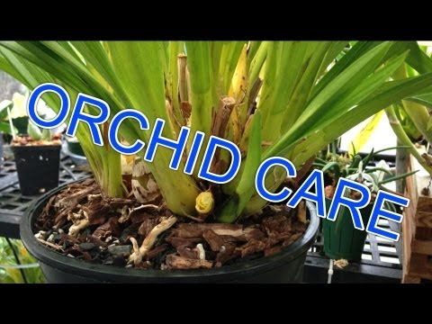 Cymbidium ORCHID CARE How to Remove old bloom spikes trim Orchid leaves & new Cymbidium growth