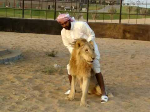 Arab and Lion who wins