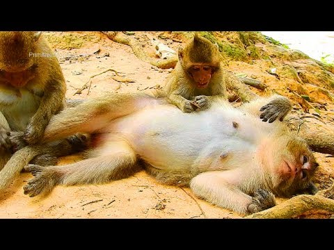 Xxx Mp4 Very Poor Ginger Baby Monkey Really Need Milk From Mom But Mouth So Pain 3gp Sex