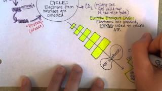 Bacterial Metabolism, Part 2