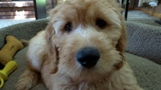 Goldendoodle Puppy at 10 Weeks