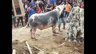 Toraja punya cerita.. #harganyasangatmahal...