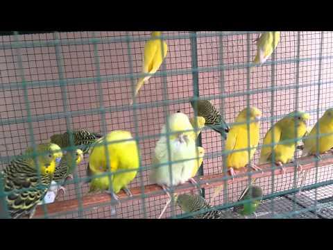 Love birds singing ♡♡♡