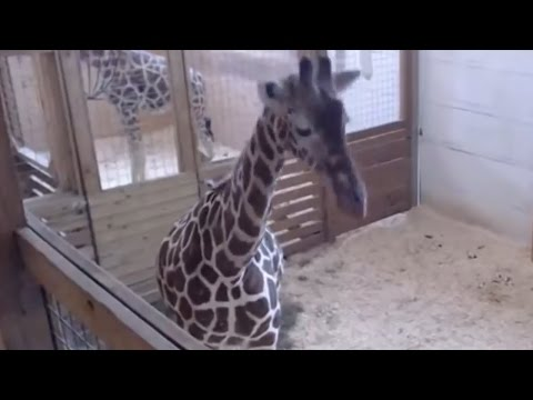 April The Giraffe FINALLY Gives Birth & The Internet Loses All Chill