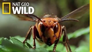 The World's Biggest Wasp   Bite, Sting, Kill