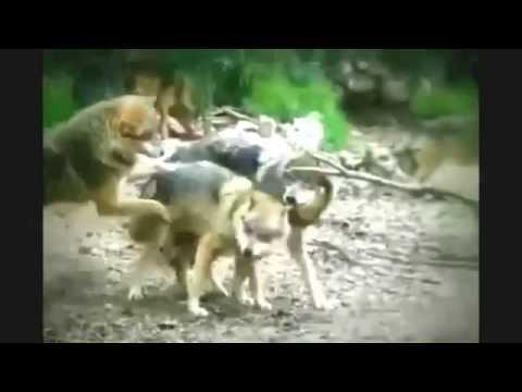 Xxx Mp4 Wolf Mating Hard Animal Mating Hard 3gp Sex