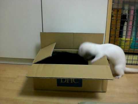 猫 vs フェレット ダンボール箱争奪戦