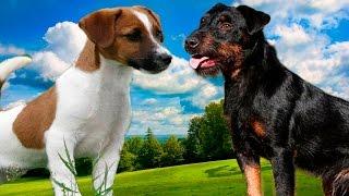 Jack Rusel terrier vs Jagdterrier - Highlights