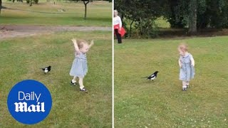 Hilarious moment magpie chases little girl in the park - Daily Mail