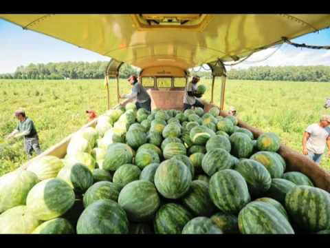 Hales Farms Watermelons