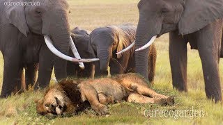 Lion vs bull Elephant Crocodile vs Elephant Lion vs Hyena Lion attacks Animal Nature Wildlife Safari