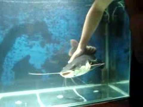 AQUARISMO JUMBO Pirarara; gigante carinhosa red tail catfish