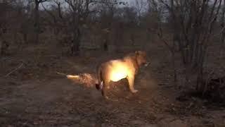 Lion and hyenas fighting over buffalo
