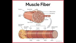 Muscular System Anatomy Review