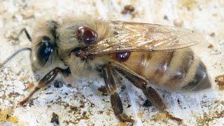 Applying Oxalic Acid to Wintering Bee Colonies